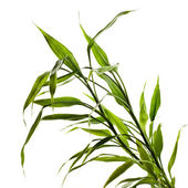 Green bamboo leaves isolated on white background — 图库照片