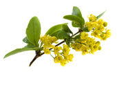 The blossoming branch of a barberry isolated on white background — Stock Photo