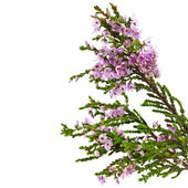 Heather with purple flowers isolated on white background — Stock Photo