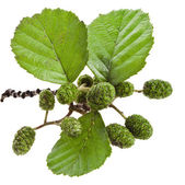Alder leaves with green cones isolated on white — Stock Photo