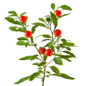 Home plant with red berries (solanum pseudocapsicum) on white background — Stock Photo