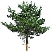 Pine tree isolated on white — Stockfoto