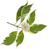 Variegated leaves of flowering shrubs isolated on white — Stock Photo
