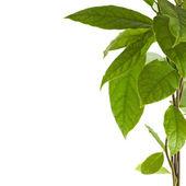 Gałąź granica drzewa awokado na białym tle — Zdjęcie stockowe