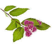 Branches of Shrubs Spiraea with fluffy pink flowers isolated on white background — Stock Photo