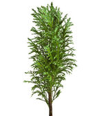 Decorative Conifer Sapling Tree Isolated on a white — Stock Photo