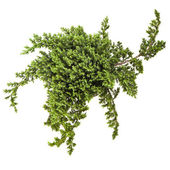 Juniper (Juniperus) tree isolated on a white — Foto de Stock