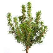 Young decorative spruce Conica , Isolated on a white — Stock Photo