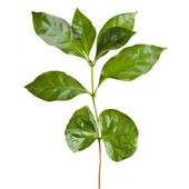 Leaves coffee tree isolated on white — Stock Photo