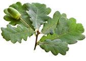 Acorns oak isolated on white — Stock Photo