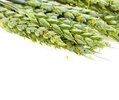 Chicchi di grano su sfondo bianco — Foto Stock