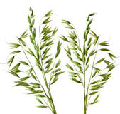 Green Oats plant on white background. Isolated — Stock Photo
