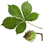 Leaf of horsechestnut tree , Horse Chestnuts Aesculus on a white background — Stock Photo