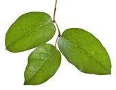 Lemon Leaf, Salal (Gaultheria shallon) isolated on white — Stock Photo