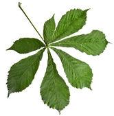 Leaf of horsechestnut tree (Aesculus hippocastanum) — Stock Photo