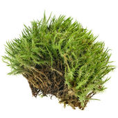 Green moss isolated on white — Stock Photo