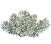 Northern Reindeer Lichen isolated on white — Stock Photo