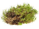 Green moss isolated on white — 图库照片