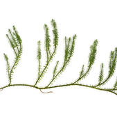 Lycopodium moss lichen isolated ont white background — Stock Photo