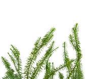 Lichene muschio lycopodium isolato ont bianco sfondo — Foto Stock