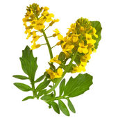 Flowering Barbarea vulgaris or Yellow Rocket plant (Cruciferae , Brassicaceae ) close up isolated — Stockfoto