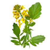 Flowering Barbarea vulgaris or Yellow Rocket plant (Cruciferae , Brassicaceae ) close up isolated — Stok fotoğraf