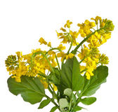 Flower Barbarea vulgaris, Bitter Yellow Rocket plant (Cruciferae , Brassicaceae ) , close up isolated on white — Stock Photo