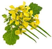 Flor de color mostaza, flores de violación, brassica napus, aislado — Foto de Stock
