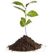 Coffee plant seedling in the pile ground soil isolated on white — Photo