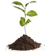 Kawa roślina sadzonka w kupie ziemi gleby na białym tle — Zdjęcie stockowe
