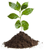 Coffee plant seedling in the pile ground soil isolated on white — Foto de Stock