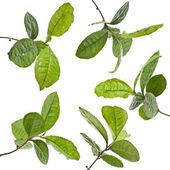 Tea Leaves Plant — Stock Photo