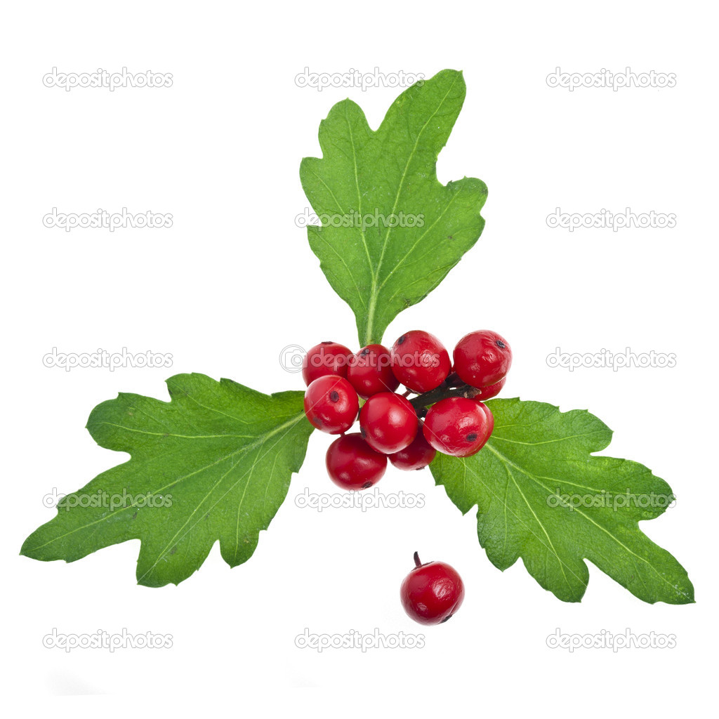 Red berries holly with leaves isolated on white  Stock Photo #13837039