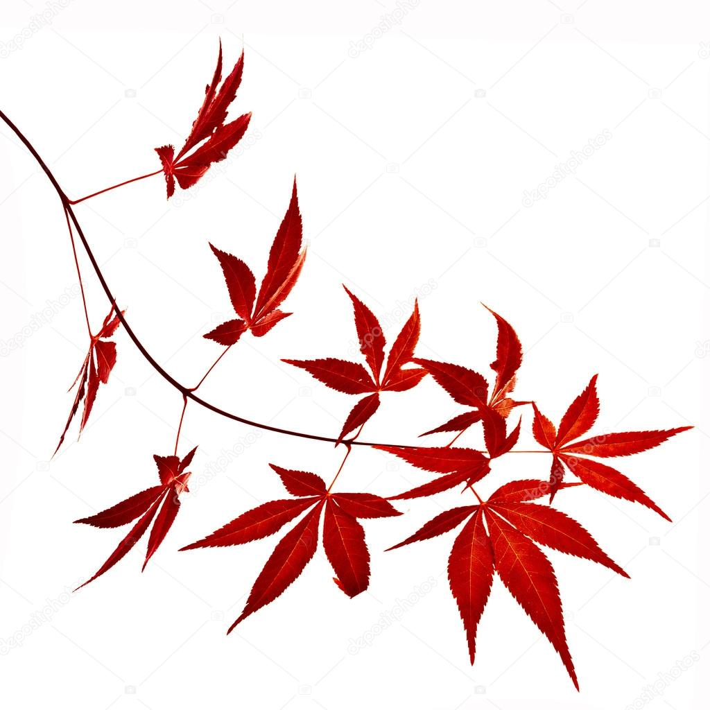 japanische rot herbst ahorn baum bl tter acer palmatum. Black Bedroom Furniture Sets. Home Design Ideas