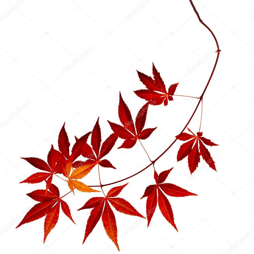 feuilles darbre japonais rouge automne rable acer palmatum isol s photographie madllen. Black Bedroom Furniture Sets. Home Design Ideas