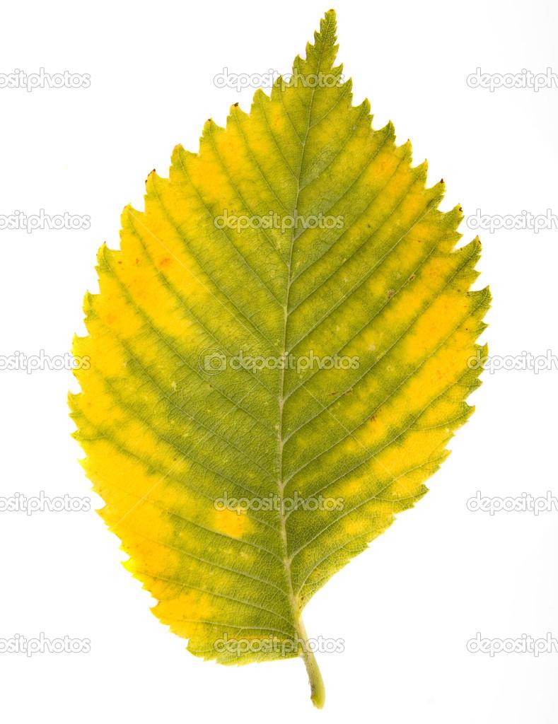 Рисунок листьев вяза