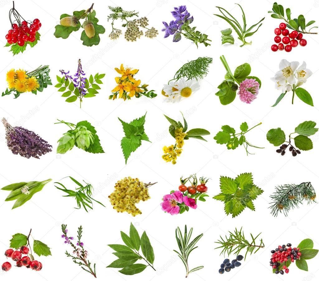 aromatiques et culinaires, feuilles, baies, plantes, fleurs ...