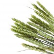 Spikelets green wheat on white background — Stock Photo