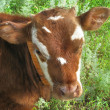 Portrait of cow — Stock Photo