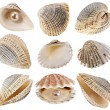 Seashell collection isolated on white background — Stock Photo #13998142