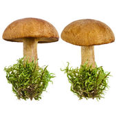 Fresh forest mushroom in a green moss isolated on white background — Stock Photo