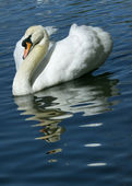 A swan against bright blue water — Stock Photo