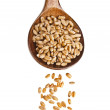 Wheat sprout in wooden spoon Isolated on white background — Stock Photo