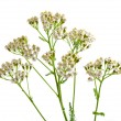 Milfoil herbal medicine, Yarrow ( Achillea millefolium L. ) — Stock Photo