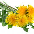 Stock Photo: Dandelions (taraxacum) isolated