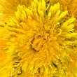Stock Photo: Dandelions (taraxacum)