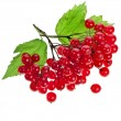 Red Viburnum isolated - Stock Photo