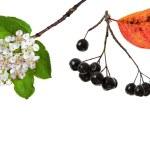 Black ashberry, Black rowan, Black chokeberry (Aronia melanocarpa) — Stock Photo #14092077