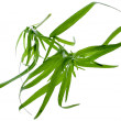 Fresh tarragon herb isolated on a white background - Stock Photo