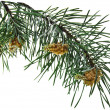 Stock Photo: Pine branch isolated on white